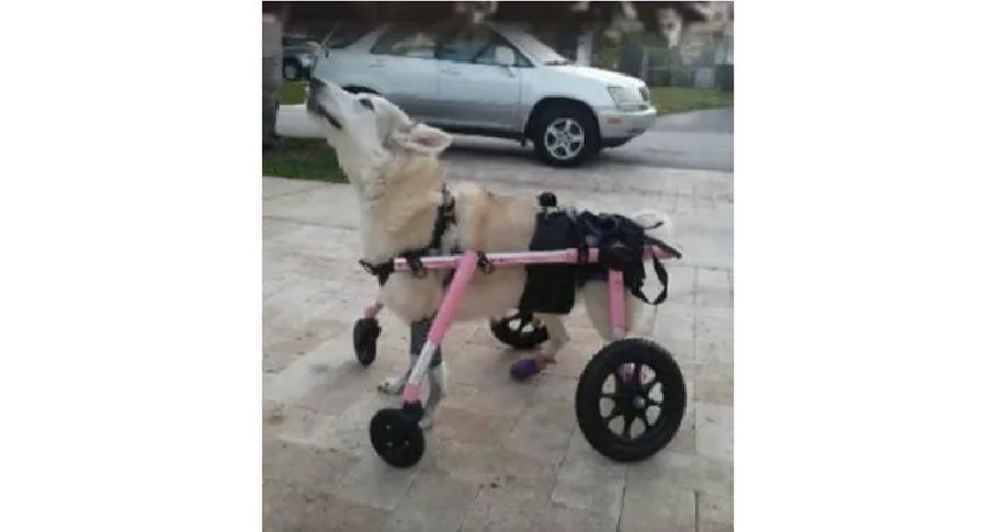 Disabled husky dog is found dead just days after being snatched