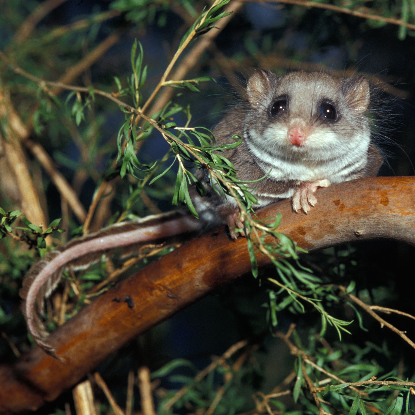 Patient Of The Week At Australia Zoo: Absolutely Tiny Feathertail Glider Is The Smaller Patient