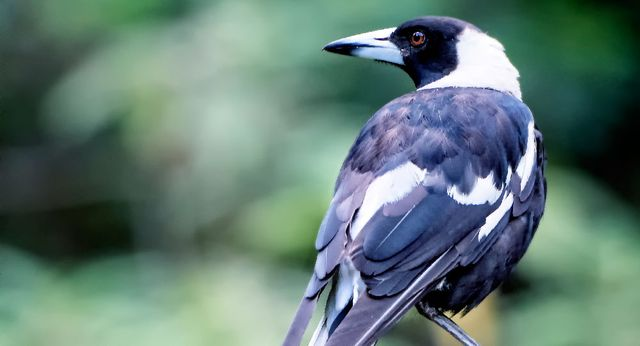 Ferocious magpie attack lands 8-year-old in emergency eye surgery
