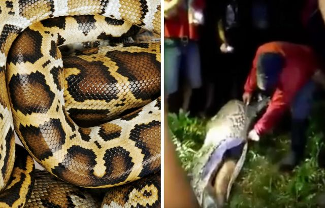 Missing man's body found in MASSIVE 7 metre python